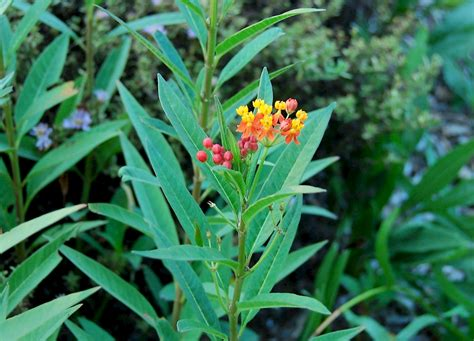 Asclepias curassavica - UF/IFAS Assessment - University of